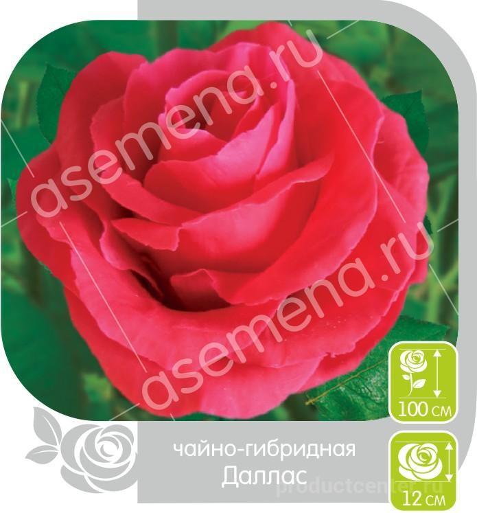 Купить розы алтая оптом саженцы