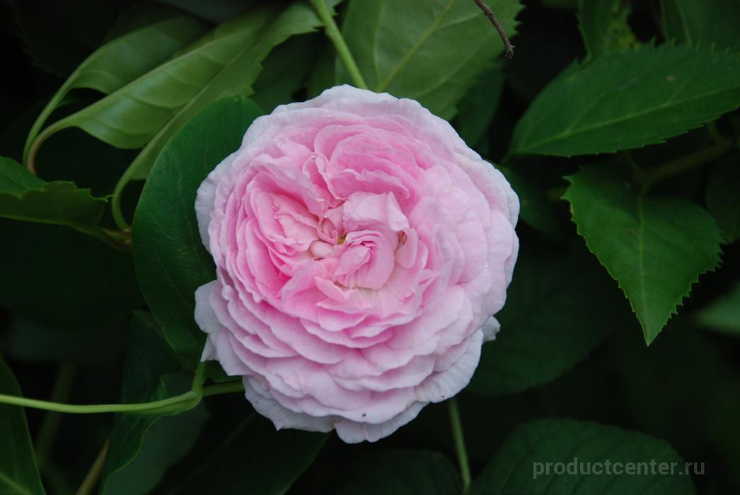 Купить саженцы розы во владимире доставка цветов рига заказ комнатных растений по риге